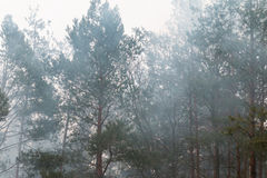 Trees in a morning fog Royalty Free Stock Photo