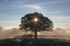 Trees in morning light. An oak early morning illuminated by the low sun Stock Photography