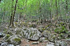 Trees and mossy rocks on the forest Royalty Free Stock Image