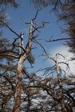 Trees on Mount Fuji, Japan Royalty Free Stock Photos