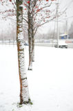 Trees of a mountain ash after a snowfall Royalty Free Stock Photos