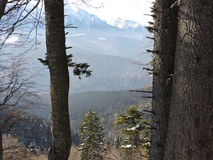 Trees and the mountain. Beautiful image through the pine trees Royalty Free Stock Photography