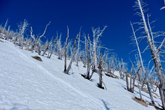Trees on mountain top. Dead trees eaten by pine beetles.  Icicle Ridge in Central Cascade Mountains. Leavenworth. Seattle. Washington. United States Stock Image