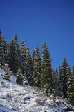 Trees in the mountains. Beautiful fir trees in the mountains Stock Images