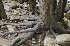 Trees in the mountains with roots on on top of ground Royalty Free Stock Photo