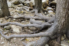 Trees in the mountains with roots on on top of ground Stock Photography