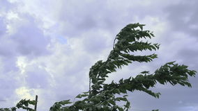 Trees Moving Wild In The Wind. Trees Moving Wild In The strong Wind stock video footage
