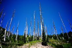 Trees at Mt St Helens Royalty Free Stock Photography