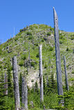 Trees at Mt St Helens Royalty Free Stock Image
