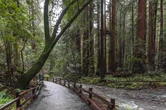 Trees at Muir Redwood park. Tall trees at John Muir Red wood national park in USA royalty free stock image