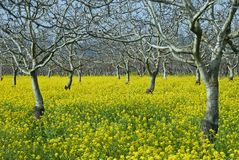 Trees And Mustard Stock Image