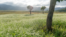 The trees and The mustard field with white flower in DonDuong - Dalat- VietNam royalty free stock photography