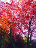 Trees. Nature red autumn fall Royalty Free Stock Images
