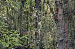 Trees in Nays park. Lichen and moss wrapped trees in Nays park royalty free stock photography
