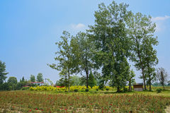 Trees near blooming farmland in sunny summer Royalty Free Stock Image