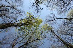 Trees with new leaves in the park in spring. Grey sky and upward view of the top of the trees, some with new leaves in the park in the village Spijkenisse on a Royalty Free Stock Image