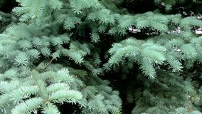 Blue spruce the bushy. Trees are the northern nature stock video footage
