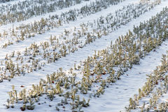 Trees at a nursery in winter. Small trees at a nursery in winter Royalty Free Stock Images