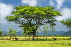 Trees och kor. Laos. Arkivfoto