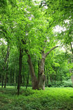 Trees in the old park. End of spring. Beginning of the summer Royalty Free Stock Photo