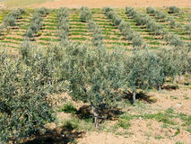 Trees of olive Stock Photo