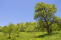 Trees in the orchard Royalty Free Stock Photo