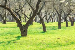 Trees in orchard alley during springtime Royalty Free Stock Image