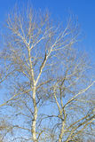 Trees over blue sky. Branches over blue sky Royalty Free Stock Photos