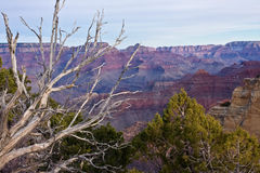 Trees over the Canyon Stock Image