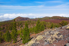 Trees over clouds at volcano Teide in Tenerife island - Canary Royalty Free Stock Photo