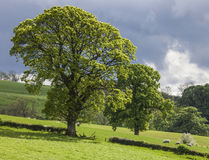 Trees over the Grass Field, Scotland Stock Photography
