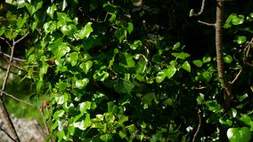 Trees overgrown with ivy. Texture of wild plants in forest stock footage