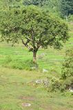 Tree at Paddy Field Royalty Free Stock Images