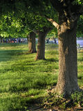 Trees in the Park. A line of trees in a park Stock Image