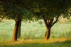 Trees in park. In eneving sun rays stock images