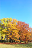 Trees in a park in autumn colors and blue sky Stock Photos