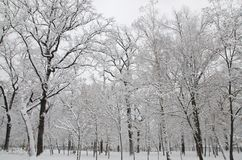 The trees in the park are covered with snow. Many tall trees in the park are covered with white snow stock photos