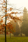 Trees in a park on a foggy autumn morning with bright orange colors and appartment buildings in the background Royalty Free Stock Photography