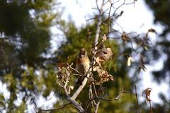 The trees in the park foraging songbird Brambling. The trees in the park, a foraging songbird Brambling, pecked a tree seed, swaying, will soon fall to eat seed Stock Images