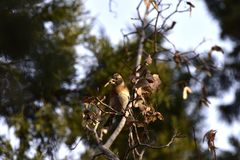 The trees in the park foraging songbird Brambling. The trees in the park, a foraging songbird Brambling, pecked a tree seed, swaying, will soon fall to eat seed Royalty Free Stock Photos