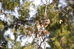 The trees in the park foraging songbird Brambling. The trees in the park, a foraging songbird Brambling, pecked a tree seed, swaying, will soon fall to eat seed Stock Image