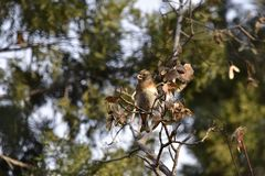 The trees in the park foraging songbird Brambling. The trees in the park, a foraging songbird Brambling, pecked a tree seed, swaying, will soon fall to eat seed Royalty Free Stock Images