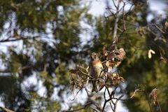 The trees in the park foraging songbird Brambling. The trees in the park, a foraging songbird Brambling, pecked a tree seed, swaying, will soon fall to eat seed Stock Photos
