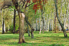 Trees in park among green grass and fallen leaves Royalty Free Stock Photo