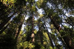 Park Trees of Mystery. Trees in park Trees of Mystery in California, USA Royalty Free Stock Photo