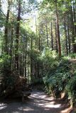 Park Trees of Mystery. Trees in park Trees of Mystery in California, USA Stock Photos
