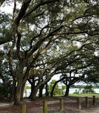 Trees at a park in Pensacola. Trees in the park after a rain. some of the trees are curved royalty free stock photography