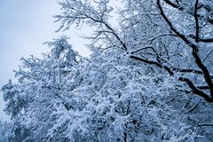 The trees in the Park after the snowfall are completely covered with snow.  royalty free stock image