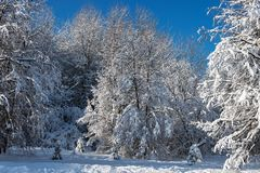 Trees after heavy snowfall Stock Image