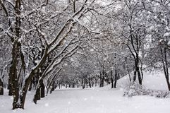 The trees in the Park in winter. It`s snowing. The trees in the Park in winter. It is snowing. Sunny winter day in the Park royalty free stock image